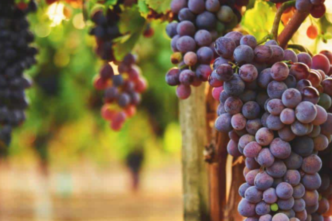 Factors To Consider When Growing Grapes At Home
